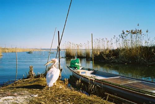 印旛沼のペリカン