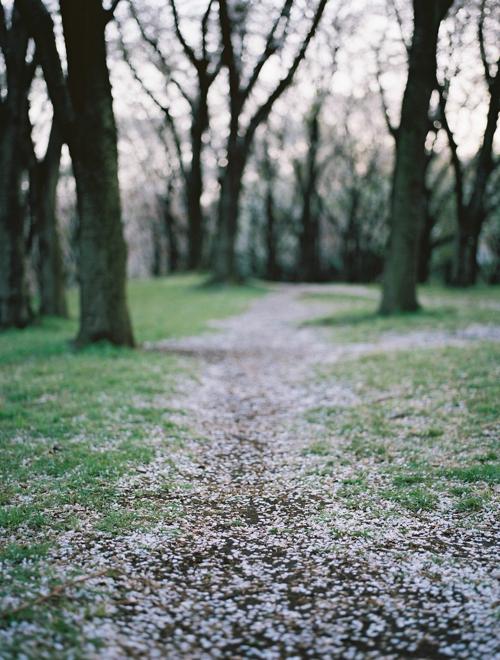 根岸森林公園 散る桜