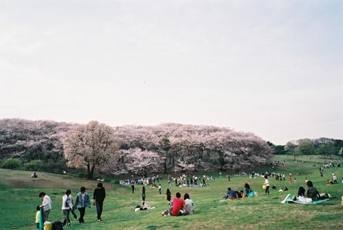 根岸森林公園桜