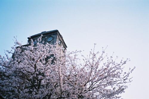 根岸森林公園競馬場桜