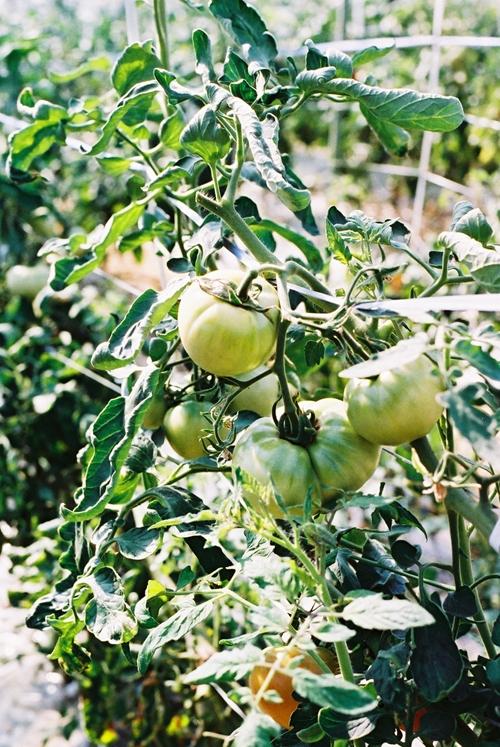 印旛沼トマト