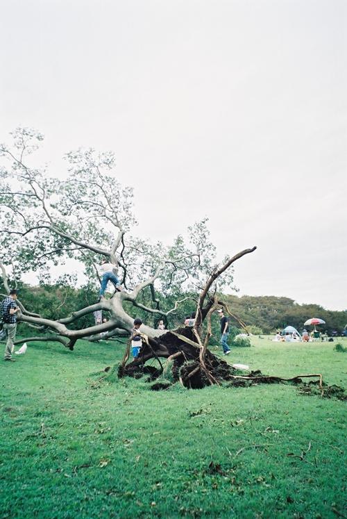 台風で木が倒れる