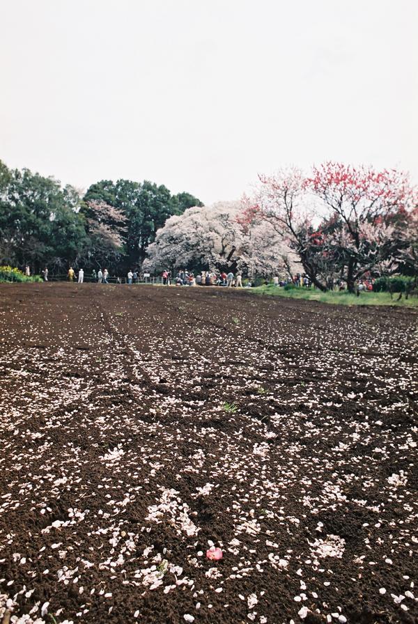 桜の花びらと畑の土