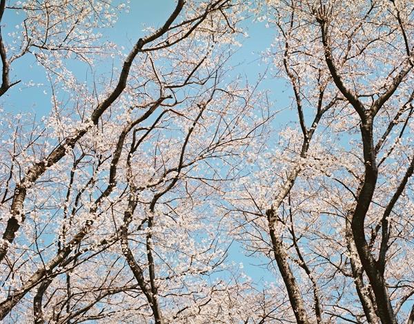 PENTAX67で桜