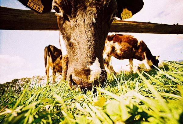 八ヶ岳農業大学校の牛
