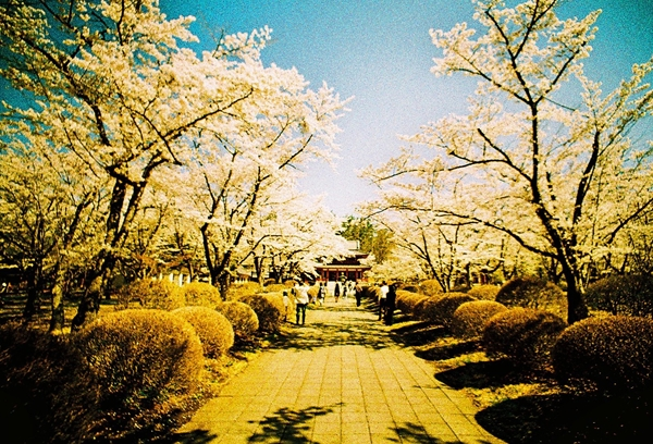 桜満開の聖光寺